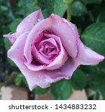 Raindrop  Kissed Mauve Rose...