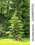 Small photo of Single young spruce by old disproved stump