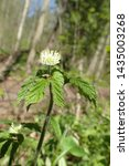 Small photo of Vertical profile of wild Goldenseal (Hydrastis canadensis) showing leaves and flower in spring forest