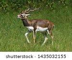 Walking Male Blackbuck ...