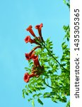 Small photo of Campsis Tecoma radicans flower also known as trumpet vine trumpet creeper cow itch or hummingbird vine