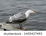 Stock photo adult herring gull larus argentatus in park germany 1435427492