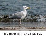 Stock photo adult herring gull larus argentatus in park germany 1435427522