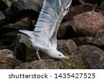 Stock photo adult herring gull larus argentatus in park germany 1435427525