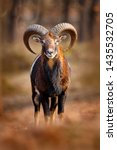 Small photo of Mouflon, Ovis orientalis, portrait of mammal with big horns, Prague, Czech Republic. Wildlife scene form nature. Animal behavior in forest. Muflon with big horns on the head, in the forest.