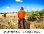 Bright Red Cashew Fruit On A...