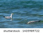 Stock photo herring gull larus argentatus keeps an eye on the sky while floating near a dead fish believed 1435989722