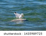 Stock photo herring gull larus argentatus feeding on a dead fish believed to be a common carp cyprinus 1435989725