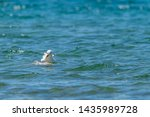 Stock photo herring gull larus argentatus feeding on a dead fish believed to be a common carp cyprinus 1435989728