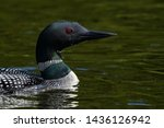 Common Loon Swimming In Green...