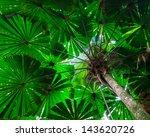 Fan Palm Tree Canopy.  Green...