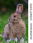 Stock photo a snowshoe hare lepus americanus sits for a portrait at rabbit blanket lake lake superior 1436571092