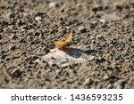 Monarch Butterfly. Orange...