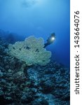 Small photo of SUDAN, Red Sea, U.W. photo, staghorn coral (Acropora cervicornis) and a diver - FILM SCAN