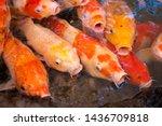 Ulticoloured Koi Fish Swimming...