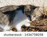 fluffy cat licking her nose on... | Shutterstock . vector #1436758058
