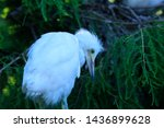 Baby Snowy Egret Perched On...