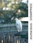 Snowy Egret Resting On Fence A...