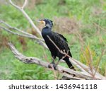 Great Cormorant Is A Common...