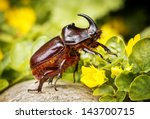 Rhinoceros Beetle   Arthropoda...