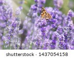 lavender bushes with butterfly  ... | Shutterstock . vector #1437054158