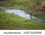 Deer Drinking From Pond In The...