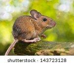 Field Mouse  Apodemus...