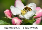 Busy Bee In An Apple Blossom
