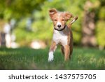 a cute red and white mixed...   Shutterstock . vector #1437575705