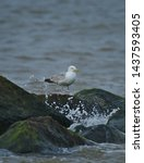 Stock photo european herring gull north sea england uk europe 1437593405