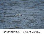 Stock photo european herring gull north sea england uk europe 1437593462