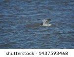 Stock photo european herring gull north sea england uk europe 1437593468