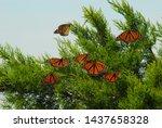 A Group Of Monarch Butterflies...