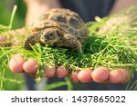 Stock photo the central asian tortoise also known as the asian brown tortoise sits on a horsetail stalk in 1437865022