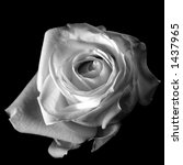 subtle b w photo of a rose | Shutterstock . vector #1437965