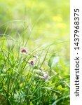 rehmannia glutinosa in...   Shutterstock . vector #1437968375