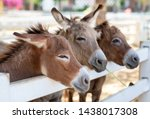 Stock photo three horse or donkey in the farm head of couple brown horse or donkey in the stall horse or 1438017308
