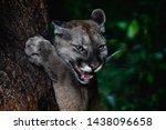 Portrait Of Beautiful Puma In...