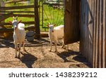 white milk goats in a pen near... | Shutterstock . vector #1438239212