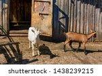 white milk goats in a pen near... | Shutterstock . vector #1438239215