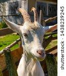 white milk goats in a pen near... | Shutterstock . vector #1438239245