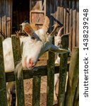 white milk goats in a pen near... | Shutterstock . vector #1438239248