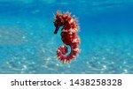 Mediterranean seahorse  ...