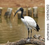 Small photo of African sacred ibis.