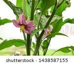 eggplant bush. the flowers of... | Shutterstock . vector #1438587155