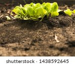 lettuce young  green sprouts... | Shutterstock . vector #1438592645