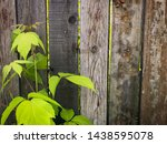 maple branch on the background... | Shutterstock . vector #1438595078