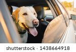 Labrador Retriever Dog Looks...