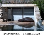 A Hippo Taking A Nap On A Hot...