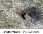 European Rabbit  Oryctolagus...